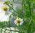 bab18-chamomile_flowers_2